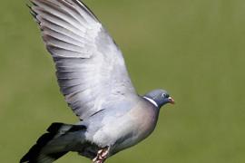 Detonarán petardos en Porto Cristo para dispersar las colonias de torcaces