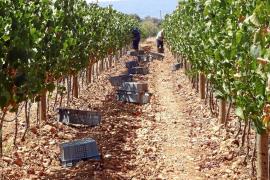 La producción de viña autóctona gana terreno a la foránea en la DO Binissalem