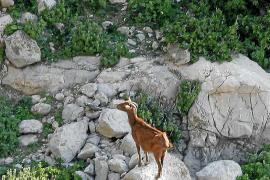 Las redes sociales captan firmas contra los responsables del exterminio de cabras