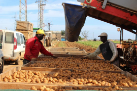 Sa Pobla empieza la exportación de la patata que es de gran calidad debido al suave invierno