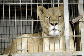 El Govern cierra un núcleo zoológico en Son Servera y se incauta de dos leonas y una leopardo