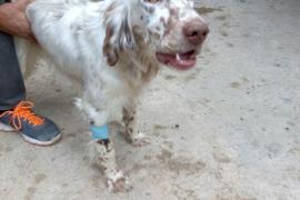 Denuncian el envenenamiento de perros en una finca de Campanet