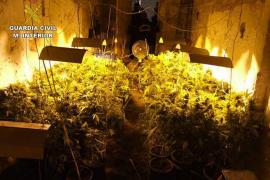Intervienen más de mil plantas de marihuana a los detenidos en Sineu y Sant Joan
