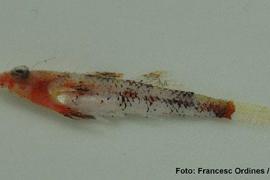 Descubren una nueva especie de pez en algas rojas de las aguas de Balears