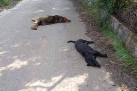 La Guardia Civil investiga la muerte de perros abatidos a tiros en Selva