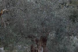 La DOP Oliva de Mallorca comercializó 19.300 kilos de aceituna en 2015