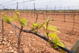 Las viñas brotan antes de hora por las altas temperaturas y desconciertan al sector
