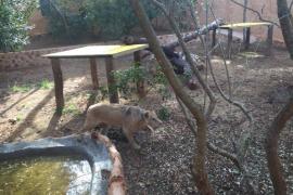 Natura Parc, hogar de los felinos de Son Servera