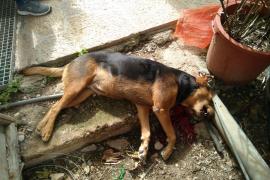 Matan de un disparo a una perra en un patio de sa Pobla