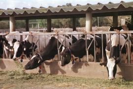 Asaja denuncia la falta de ayudas que recibe el sector vacuno en Balears