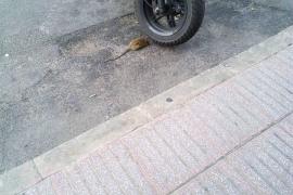 El PP de Alcúdia denuncia la proliferación de ratas en el municipio