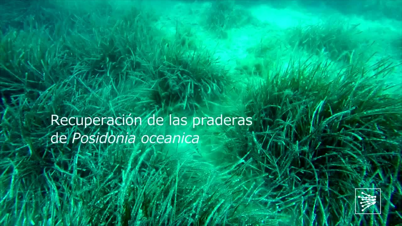 Plantación experimental de posidonia en Santa Ponça