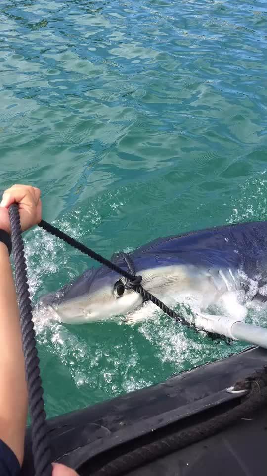 El tiburón vuelve al puerto de Palma y es remolcado a mar abierto
