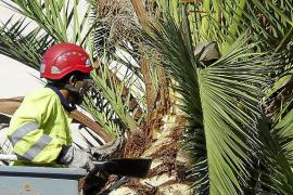 El picudo rojo ha afectado a unas once mil palmeras desde su aparición en 2006