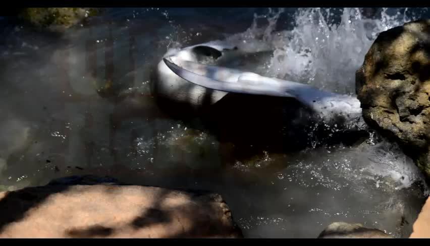 El tiburón varado en Cala Falcó fue sacrificado para evitar «alargar su sufrimiento»