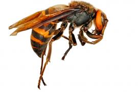 Un posible avistamiento de avispa asiática pone en alerta a Pollença