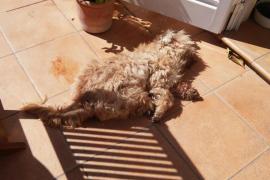Denuncian la muerte de dos perros en su domicilio de sa Pobla por envenenamiento