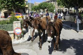Comienza la campaña de limpieza de torrentes con burros en Esporles