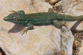 Las 'sargantanes' podrían desaparecer en Ibiza por la proliferación de serpientes