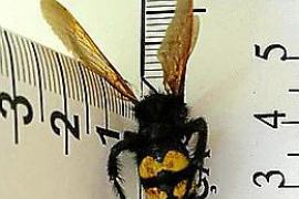 El avistamiento de una avispa asiática en Pollença resulta ser una falsa alarma