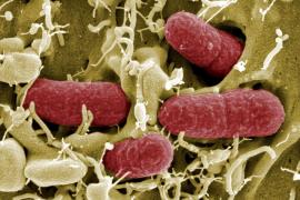 Detectada por primera vez una bacteria resistente a todos los antibióticos