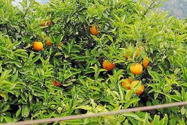 La Cooperativa de Sóller repartirá un millar de cítricos para fomentar su cultivo