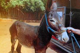 Juzgan a un hombre por maltratar a su burro en una finca de Costitx