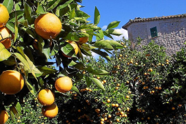 La décima Fira de la Taronja de Sóller servirá para reforzar su puesta en valor