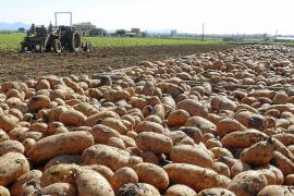Las empresas de patata piden cambiar las fechas de siembra para evitar heladas