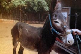 La jueza impone seis meses de cárcel al hombre que maltrató a su burro en Costitx