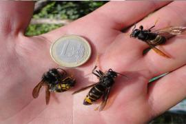 Expertos de la UIB crean una aplicación para combatir la avispa asiática