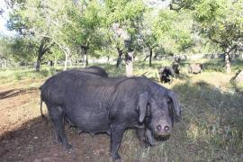 Acepta tres meses de cárcel por matar de ocho disparos a un 'porc negre' en Calvià