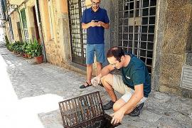 Detectan un gran foco de mosquito tigre en los imbornales urbanos de Sóller