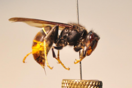 Detectada una nueva colonia de avispa asiática en Sóller