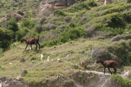 Alarma entre los animalistas por un posible 'cabricidio' en Pollença