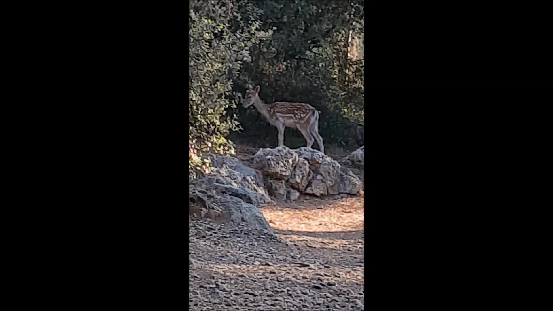 """Un """"Bambi"""" suelto en Mallorca"""