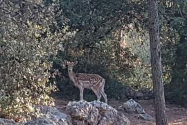 """""""Bambi"""" mallorquín"""