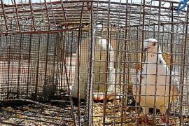 Cada año se capturan en Palma unas 2.000 palomas para controlar su exceso