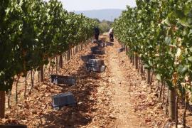 Los bodegueros se preparan para iniciar la vendimia, este año favorecida por la sequía