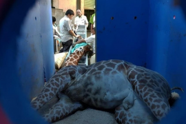 Una jirafa muere de un ataque de pánico tras ser enjaulada