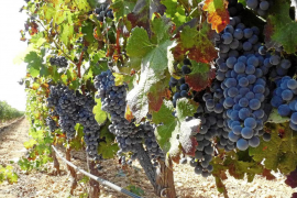 Los viñedos de la DO Binissalem rozan el máximo de producción establecido