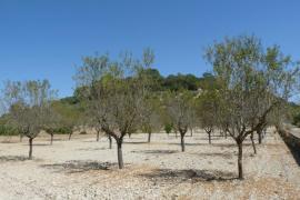 El campo mallorquín pierde mil hectáreas de almendros anuales desde 2008