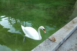 ¿Dónde está el cisne que falta?