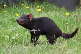 Los demonios de Tasmania evolucionan para superar el cáncer facial que los mata