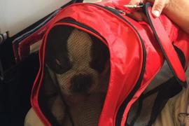 Iberia pide perdón por obligar a un bulldog a viajar en un transportín demasiado pequeño