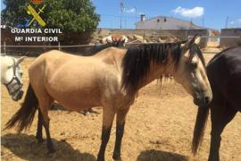 Detenidos por robar una yegua de raza preñada