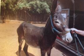 Absuelven a un hombre condenado por maltratar a su burro en Costitx