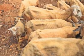 Vecinos de Consell denuncian que varias ovejas han muerto de hambre y sed en una finca