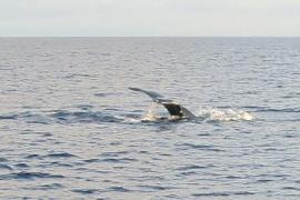 Avistan una ballena jorobada en Cabrera por primera vez en 21 años