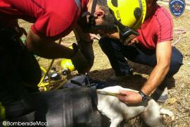 Rescatan a un perro que había metido la cabeza en un bidón en una finca de Muro